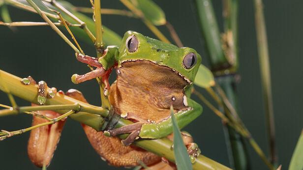 Tak wygląda żaba amazońska (phyllomedusa bicolor) Shutterstock