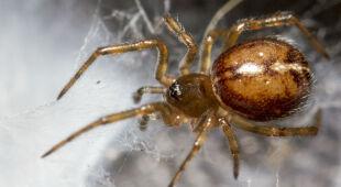 Fałszywe czarne wdowy to najbardziej jadowite pająki w UK
