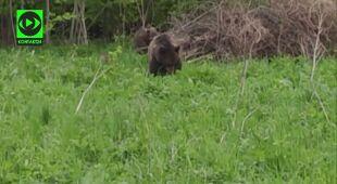 Niedźwiedzica z młodymi w Bieszczadach