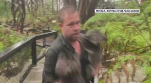 Z zoo ewakuowano koale